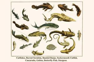 Catfishes, Barred Sorubim, Banded Banjo, Suckermouth Catfish, Cascarudo, Gobies, etc. by Albertus Seba