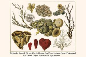 Cnidaria, Smooth Flower Coral, Golden Sea Fans, Lettuce Coral, Plate Coral, Fire Coral, etc. by Albertus Seba