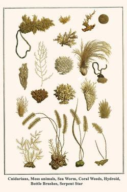 Cnidarians, Moss Animals, Sea Worm, Coral Weeds, Hydroid, Bottle Brushes, Serpent Star by Albertus Seba