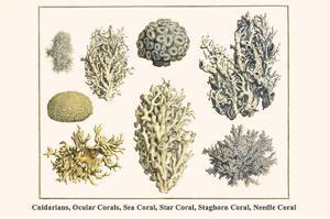 Cnidarians, Ocular Corals, Sea Coral, Star Coral, Staghorn Coral, Needle Coral by Albertus Seba