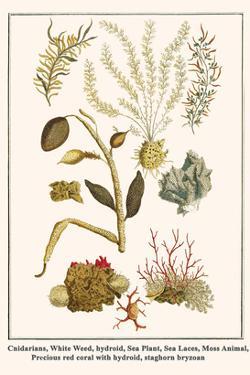 Cnidarians, White Weed, Hydroid, Sea Plant, Sea Laces, Moss Animal, etc. by Albertus Seba