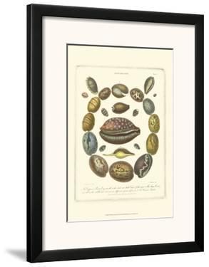 Conchology Collection III by Albertus Seba