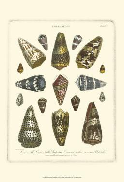 Conchology Collection IV by Albertus Seba