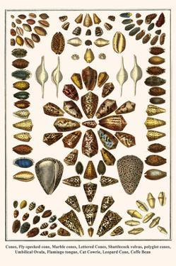 Cones, Fly-Specked Cone, Marble Cones, Lettered Cones, Shuttlecock Volvas, Polyglot Cones, etc. by Albertus Seba