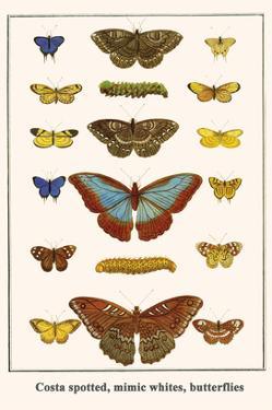 Costa Spotted, Mimic Whites, Butterflies by Albertus Seba