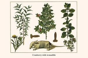 Cranberry with Armadillo by Albertus Seba