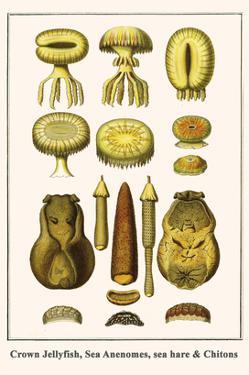 Crown Jellyfish, Sea Anenomes, Sea Hare and Chitons by Albertus Seba