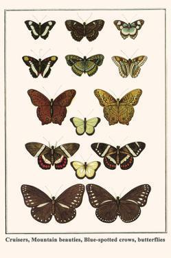 Cruisers, Mountain Beauties, Blue-Spotted Crows, Butterflies by Albertus Seba