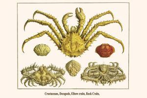 Crustaceans, Decapods, Elbow Crabs, Rock Crabs, by Albertus Seba