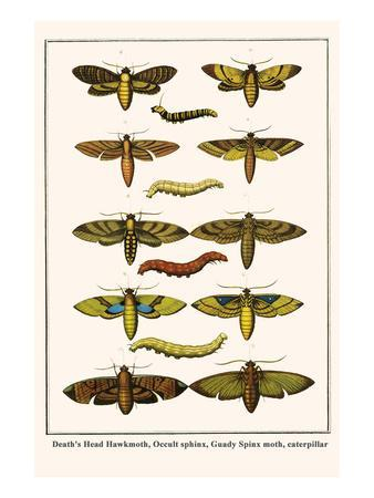 Death's Head Hawkmoth, Occult Sphinx, Guady Spinx Moth, Caterpillar