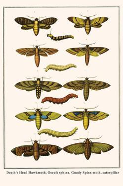 Death's Head Hawkmoth, Occult Sphinx, Guady Spinx Moth, Caterpillar by Albertus Seba