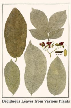 Deciduous Leaves from Various Plants by Albertus Seba