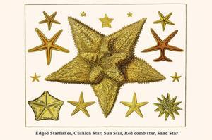 Edged Starfishes, Cushion Star, Sun Star, Red Comb Star, Sand Star by Albertus Seba