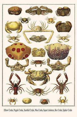 Elbow Crabs, Pepple Crabs, Xanthid Crabs, Mus Crabs, Squat Lobsters, Box Crabs, Spider Crabs by Albertus Seba