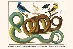 Emerald Tree Boa, Spangled Cortinga, Yellow Backed Oriole and Bird Skeleton by Albertus Seba