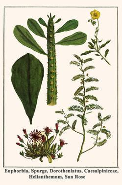 Euphorbia, Spurge, Dorotheniatus, Caesalpiniceae, Helianthemum, Sun Rose by Albertus Seba