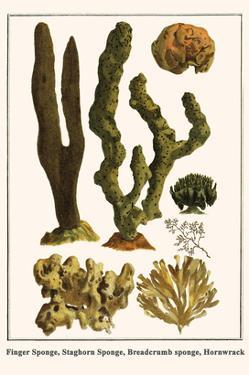 Finger Sponge, Staghorn Sponge, Breadcrumb Sponge, Hornwrack by Albertus Seba