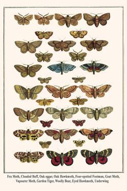 Fox Moth, Clouded Buff, Oak Eggar, Oak Hawkmoth, Four-Spotted Footman, Goat Moth, etc. by Albertus Seba