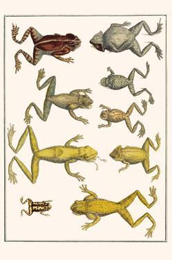 Frogs by Albertus Seba