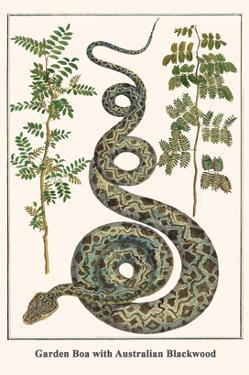Garden Boa with Australian Blackwood by Albertus Seba
