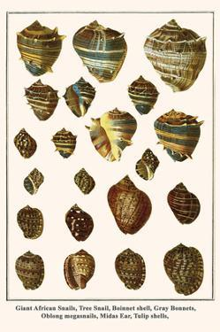Giant African Snails, Tree Snail, Boinnet Shell, Gray Bonnets, Oblong Megasnails, Midas Ear, etc. by Albertus Seba
