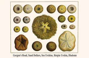 Gorgon's Head, Sand Dollars, Sea Urchins, Hatpin Urchin, Diadems by Albertus Seba