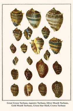 Great Green Turbans, Tapestry Turbans, Silver Mouth Turbans, Gold Mouth Turbans, etc. by Albertus Seba