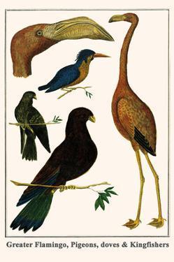 Greater Flamingo, Pigeons, Doves and Kingfishers by Albertus Seba