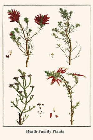 Heath Family Plants by Albertus Seba