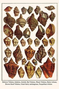 Hebrew Volutes, Judaica, Jewish, Bat Volutes, Music Volutes, Hairy Tritons, etc. by Albertus Seba