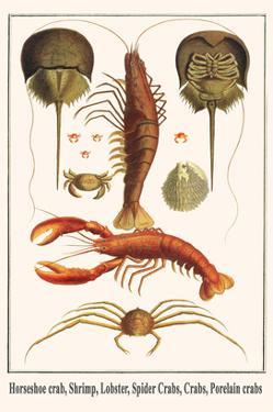 Horseshoe Crab, Shrimp, Lobster, Spider Crabs, Crabs, Porelain Crabs by Albertus Seba