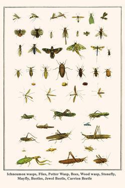 Ichneumon Wasps, Flies, Potter Wasp, Bees, Wood Wasp, Stonefly, Mayfly, Beetles, Jewel Beetle, etc. by Albertus Seba