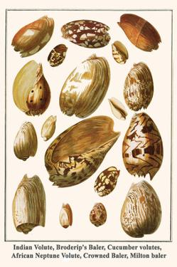 Indian Volute, Broderip's Baler, Cucumber Volutes, African Neptune Volute, Crowned Baler, etc. by Albertus Seba