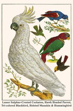 Lesser Sulphur-Crested Cockatoo, Hawk Headed Parrot, Tri-Colored Blackbird, Heleted Manakin, etc. by Albertus Seba