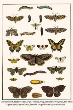 Lime Hawkmoth, Eyed Hawkmoth, Poplar Admirals, Wasp, Swallowtail, Orange Tips, Bath Whites, etc. by Albertus Seba