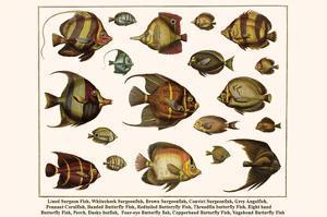 Lined Surgeon Fish, Whitecheek Surgeonfish, Brown Surgeonfish, Convict Surgeonfish, etc. by Albertus Seba