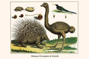 Malayan Porcupines and Ostrich by Albertus Seba