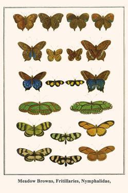 Meadow Browns, Fritillaries, Nymphalidae, by Albertus Seba