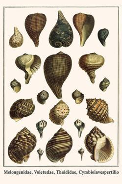 Melongenidae, Voletudae, Thaididae, Cymbiolavespertilio by Albertus Seba