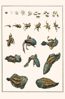 Metamorphosis of Frogs into Toads by Albertus Seba