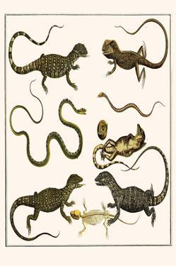 Monitors from Indonesia, Agama from Sri Lanka, Lizards, Anoles and Snakes by Albertus Seba