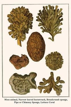 Moss Animal, Narrow Leaved Hornwrack, Breadcrumb Sponge, Pipe or Chimney Sponge, Lettuce Coral by Albertus Seba