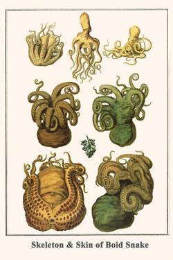 Octopuses by Albertus Seba