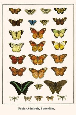 Poplar Admirals, Butterflies, by Albertus Seba