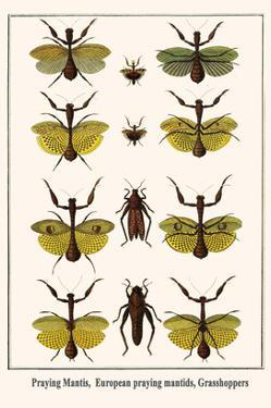 Praying Mantis, European Praying Mantids, Grasshoppers by Albertus Seba