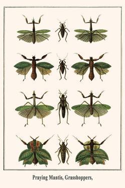 Praying Mantis, Grasshoppers, by Albertus Seba