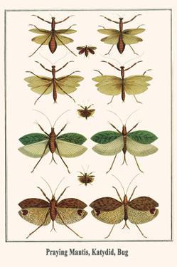 Praying Mantis, Katydid, Bug by Albertus Seba