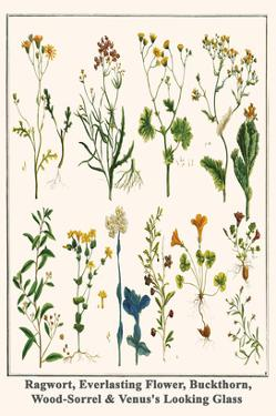 Ragwort, Everlasting Flower, Buckthorn, Wood-Sorrel and Venus's Looking Glass by Albertus Seba