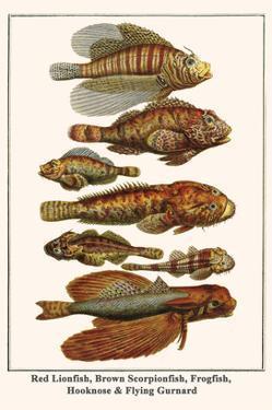 Red Lionfish, Brown Scorpionfish, Frogfish, Hooknose and Flying Gurnard by Albertus Seba