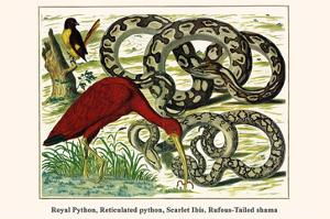 Royal Python, Reticulated Python, Scarlet Ibis, Rufous-Tailed Shama by Albertus Seba